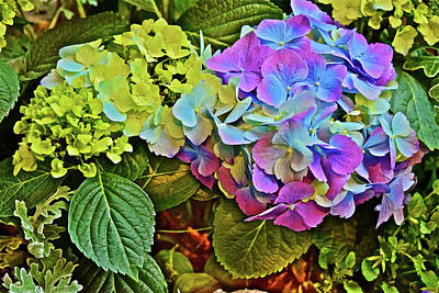 Poster featuring the photograph Spring Show Bigleaf Hydrangea by Janis Nussbaum Senungetuk