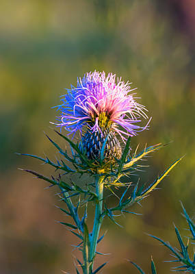 Spring Thistle Poster