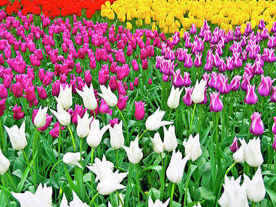 Spring Tulips Flower Field II Poster