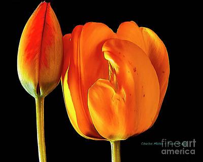 Spring Tulips V Poster