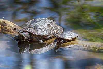Spring Turtle Baby Poster by John Haldane