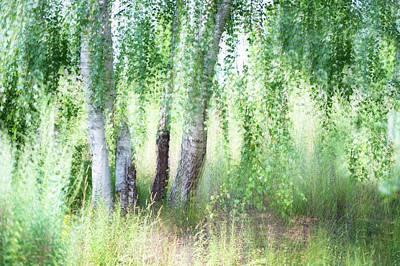 Spring Wind In Birch Grove Poster by Jenny Rainbow