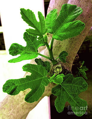 Springing Figtree Leaves Poster