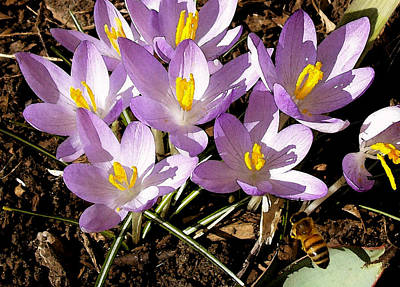 Springtime Crocuses  Poster by Michelle Calkins