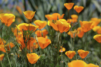 Poster featuring the photograph Springtime  Super Bloom In California by Cliff Wassmann