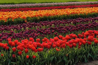 Poster featuring the photograph Springtime Tulips by Susan Candelario