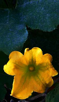 Poster featuring the photograph Squash Blossom by Lenore Senior