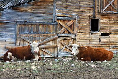 Squires Herefords By The Rustic Barn Poster by Karon Melillo DeVega