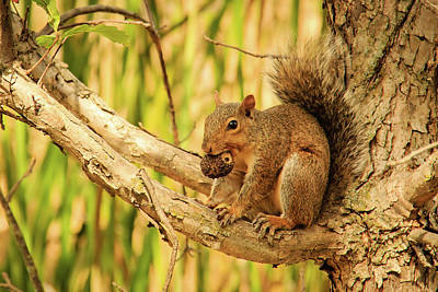 Squirrel In A Tree In The Marsh Poster