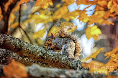 Poster featuring the photograph Squirrel In Autumn by Kerri Farley of New River Nature