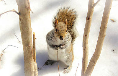 Squirrel In Snow Poster