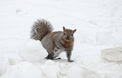 Poster featuring the photograph Squirrel In Winter Snow by Charline Xia