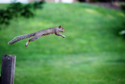 Squirrel Leaping To Safety Poster
