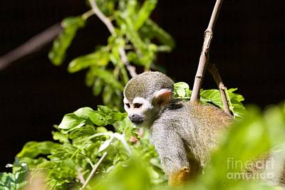 Squirrel Monkey Youngster Poster by Afrodita Ellerman