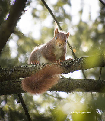 Poster featuring the photograph Squirrel On The Spot by Stwayne Keubrick