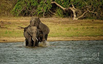 Sri Lankan Elephants  Poster