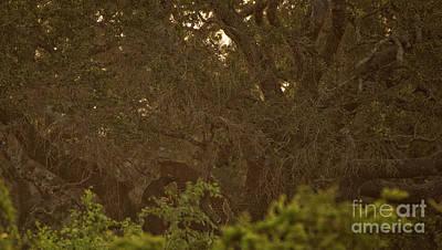 Sri Lankan Leopard And Wild Boar Poster