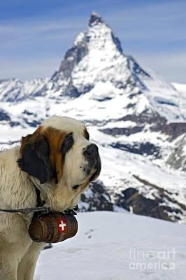 St Bernard Dog Posing In Front Of The Matterhorn Poster by Henk Meijer Photography