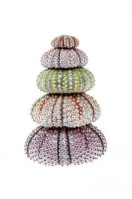 Stack Of Sea Urchins Poster