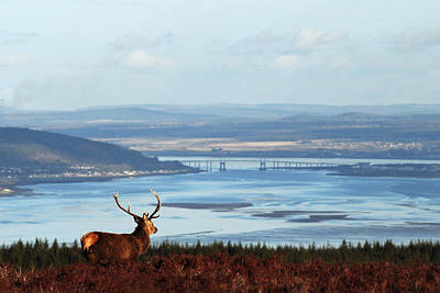 Stag Overlooking The Beauly Firth And Inverness Poster