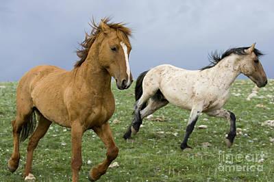 Stallion Dominance Behavior Poster