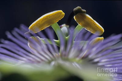 Stamen Of A Passionflower Poster