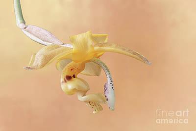 Stanhopea Orchid V2 Poster