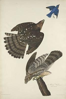 Stanley Hawk Poster by Rob Dreyer