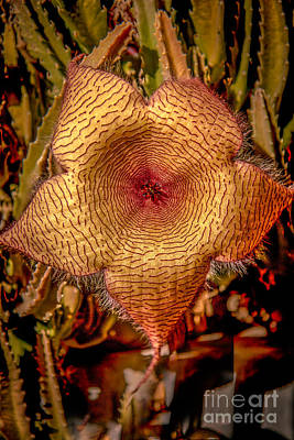 Star Flower Cactus Poster by Robert Bales