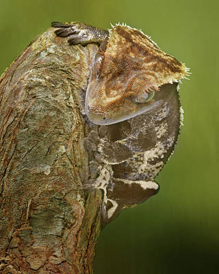 Stare Down - Crested Gecko Poster