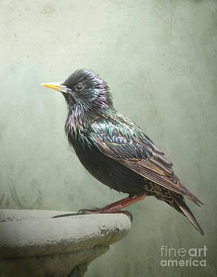 Starling Poster by Jan Piller