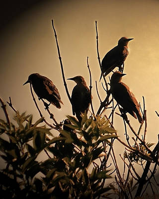 Starlings Poster by Sharon Lisa Clarke