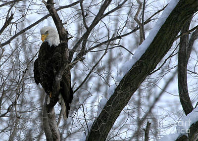 Poster featuring the photograph Starved Rock Eagle by Paula Guttilla