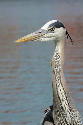 Stately Great Blue Heron Poster