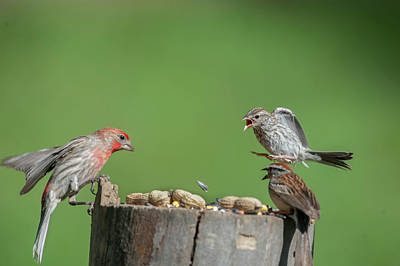 Stay Away You House Finch Poster by Dan Friend