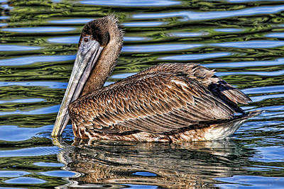 Staying Afloat 2 - Brown Pelican Swimming Poster by HH Photography of Florida