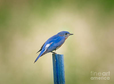 Stealthy Bluebird Poster by Robert Frederick