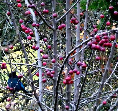 Stellar Jay In Crab Apples Poster by Will Borden
