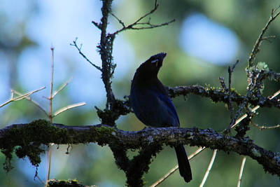 Stellar Jay Tilts Its Head Poster by Jeff Swan