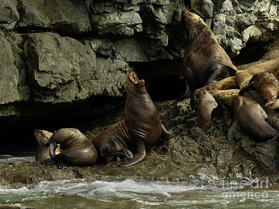 Alaskan Steller Sea Lions #3 Poster by Teresa A and Preston S Cole Photography