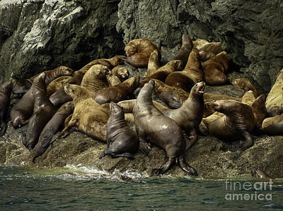 Alaskan Steller Sea Lions #4 Poster by Teresa A and Preston S Cole Photography