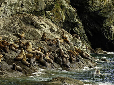 Alaskan Steller Sea Lions #5 Poster by Teresa A and Preston S Cole Photography