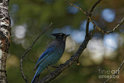 Steller's Jay In The Rockies Poster