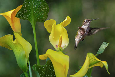 Stem To Sky A Hummingbird Flies Poster