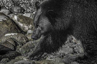 Stepping Into The Creek Black Bear Poster