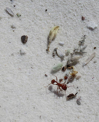 Still Life With Red Ant Poster by Feva Fotos