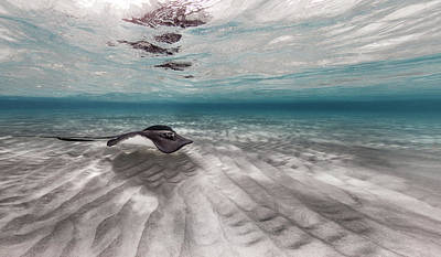 Stingray Across The Sand Poster