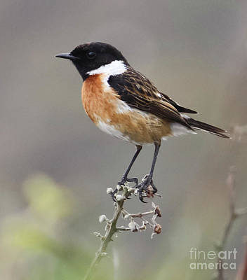 Stonechat Poster by Terri Waters
