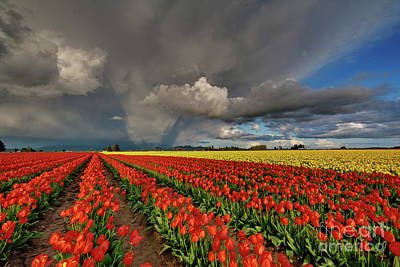 Storm Tulips Poster by Mike Reid