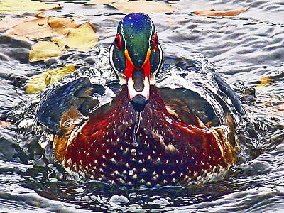 Straight Ahead Wood Duck Poster by Jean Noren